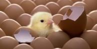 Yumurtanın civcive dönüşümü görüntülendi!