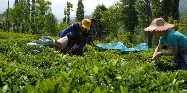 2019 yılı yaş çay alımı fiyatı ne kadar?