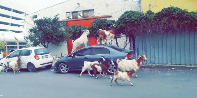 Keçiler şehre indi