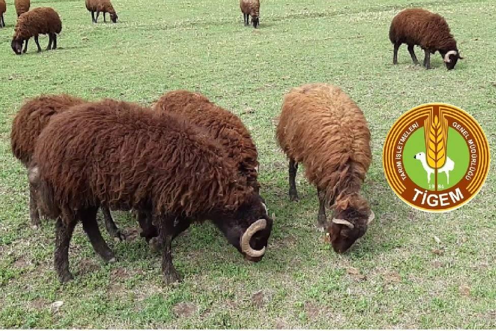 250 baş reforme morkaraman koyun açık artırma ile satılacak