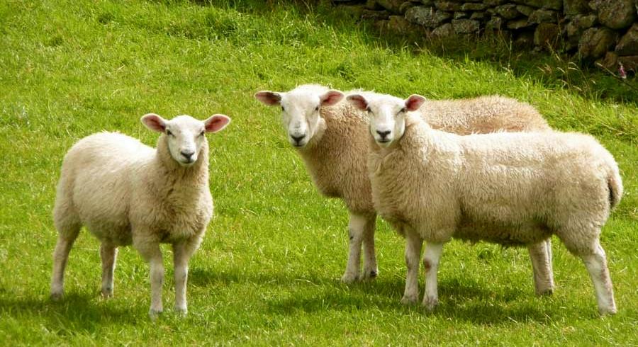 '300 koyun' hibesi için başvurular başladı!