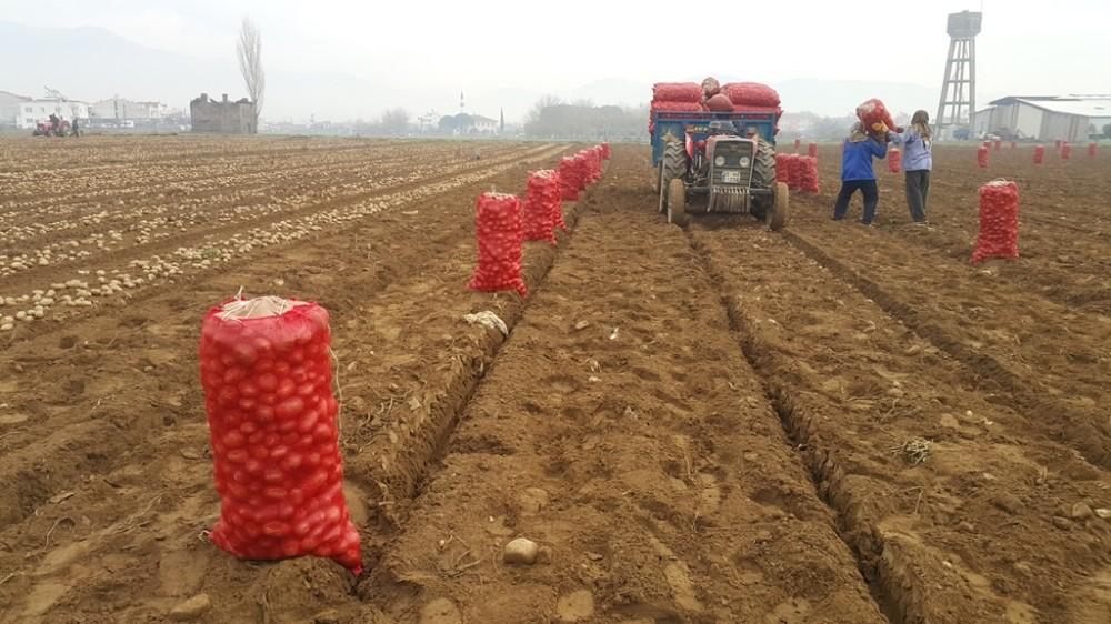 Adana'da dondu, Ödemişli üretici patatese yöneldi