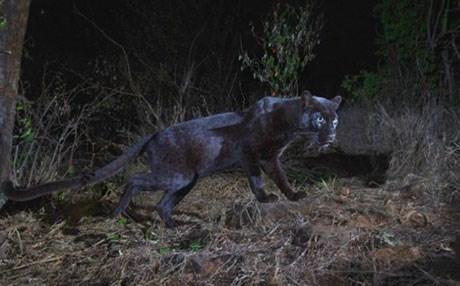Afrika'da uzun aradan sonra siyah leopar görüntülendi