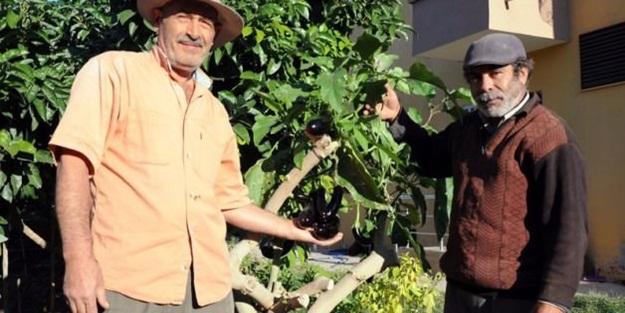 Ağaçta patlıcan yetiştirdi, pişman oldu!