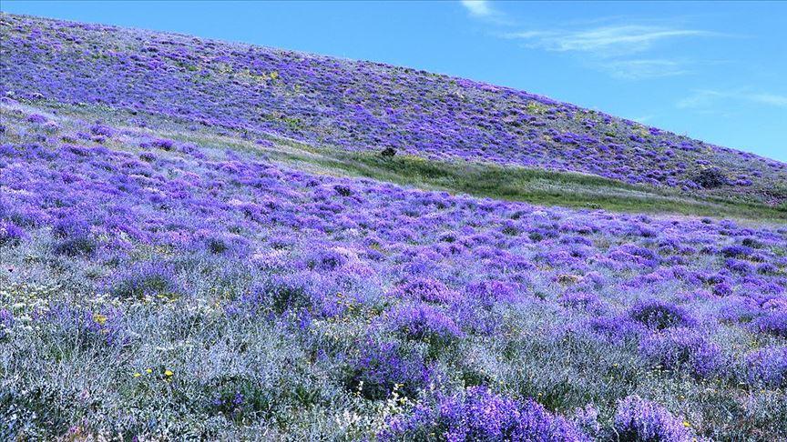 Ağrı'nın mor çiçekleri dağlarda görsel şölen sunuyor