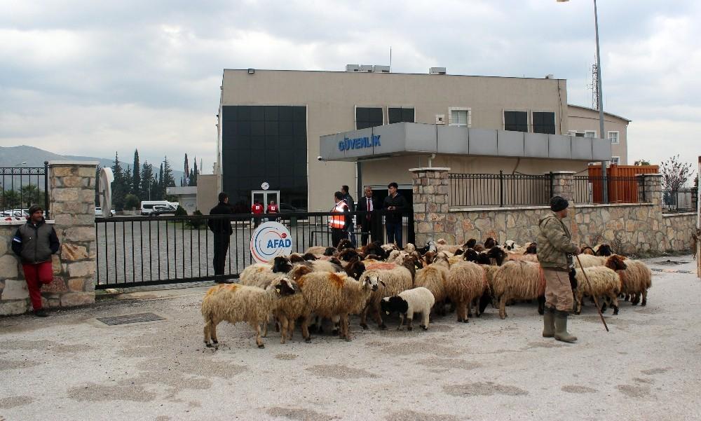 Ahırını su basan besici koyunlarıyla destek istedi
