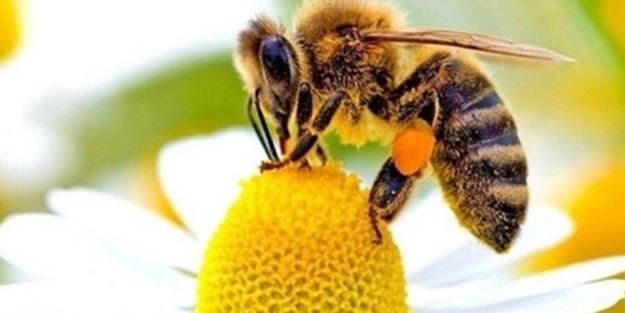 Albert Einstein'ın teorisi gerçek mi oluyor? Arıların kıyameti...