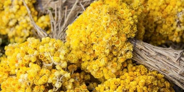 Altın otunun faydaları nelerdir? Altın otu çayı nasıl yapılır? Güneş çiçeği hangi hastalıklara iyi gelir?
