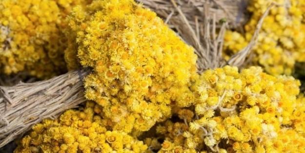 Altın otunun faydaları nelerdir?