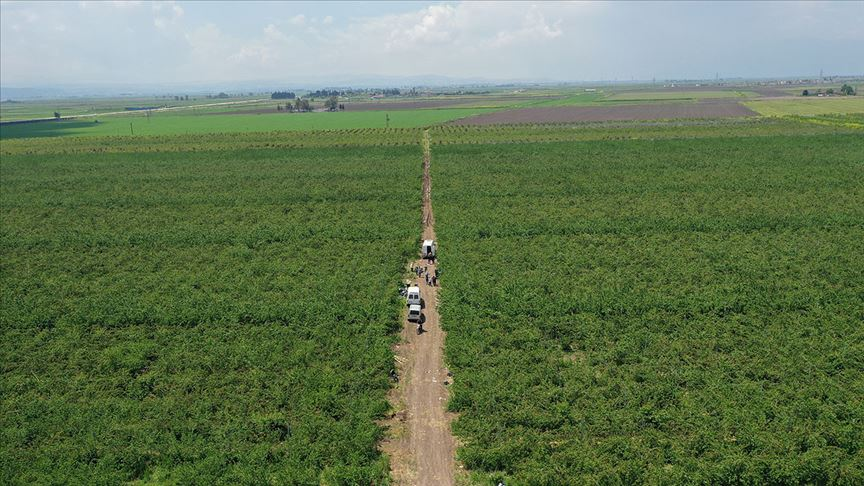 Amik Ovası'nda tarımsal üretim Kovid-19 tedbirleriyle aralıksız sürüyor