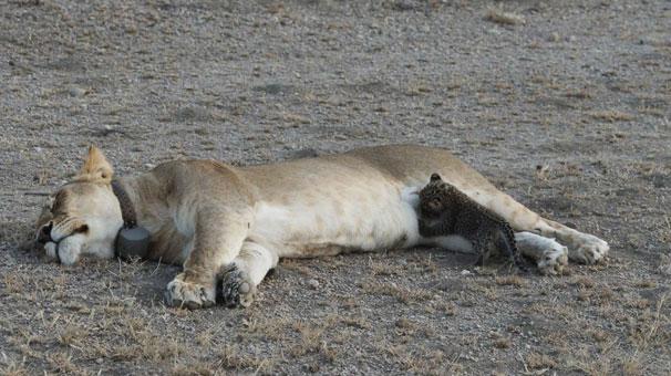 Anne aslan yavru leoparı emziriyor