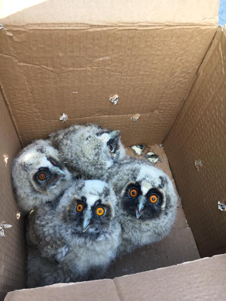 Anneleri ölünce mahsur kalan yavru baykuşlar kurtarıldı