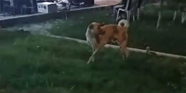 Arasanız bulamazsınız! Siz hiç böyle köpek gördünüz mü?