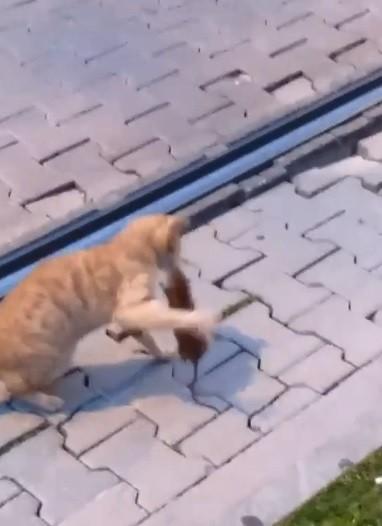Asabi fareden peşine takılan kediye sol kroşe