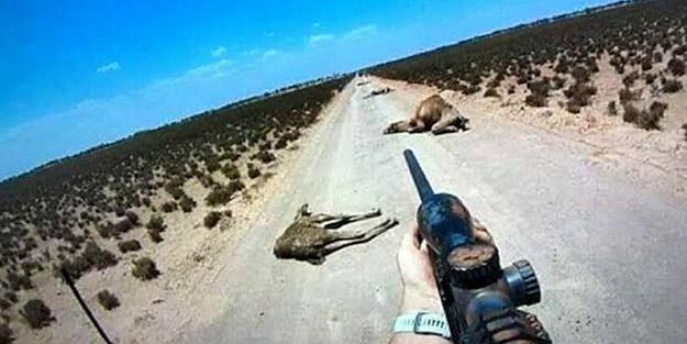 Avustralya yeni bir skandala hazırlanıyor! Develerden sonra o hayvanları öldürecekler