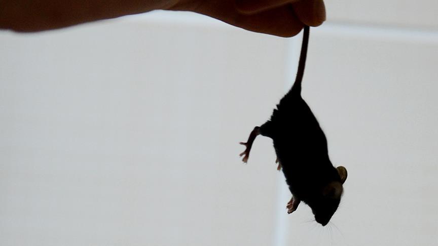 Avustralya'da fare istilası cezaevini tahliyeye zorladı