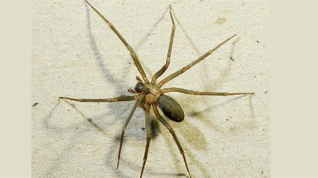 Avustralya'da örümcek zehri şifa oldu