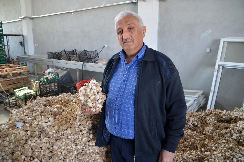 Bağışıklığı güçlendiren Kastamonu sarımsağı son 50 yılın en yüksek fiyatlarını gördü