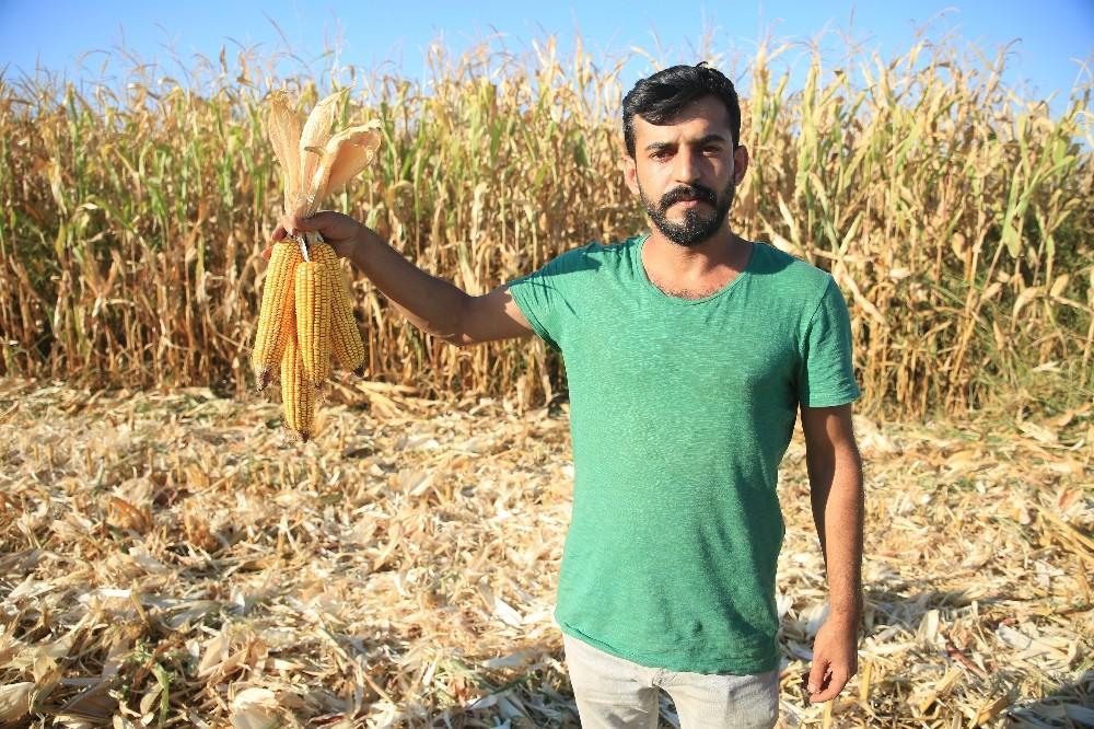 Batman'da ilk mısır hasadı başladı