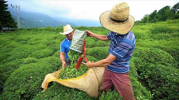 Bayramda çay toplanabilecek mi?   Sokağa çıkma yasağında çay toplamak yasak mı?