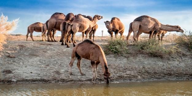 """Ben develerin sahibiyim, Kabe'nin sahibi Allah O'nu korur!"""