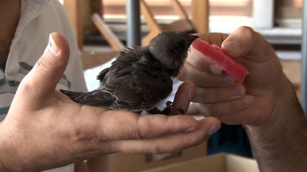 Beyoğlu'nda sokakta 'ebabil kuşu' bulundu
