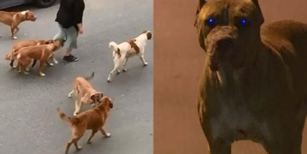 Bir kadına saldırmışlardı! Mahalleli tedirgin: Sokak köpekleri dehşet saçıyor