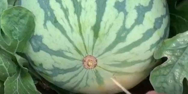 Bir kürdanla karpuz kesme yöntemi