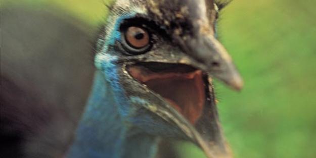 Bir tabur askeri öldüren kuş: Cassowary
