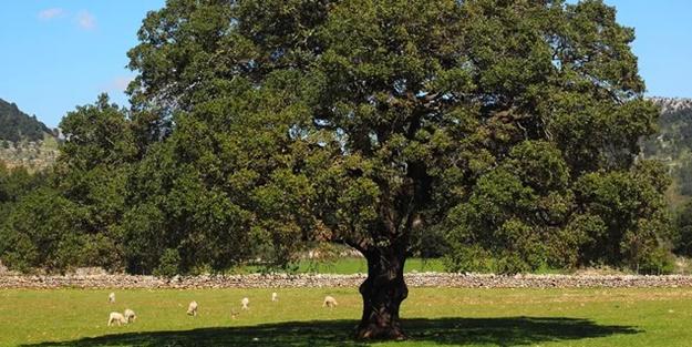 Koronavirüs tedavisinde bu ağaç kullanılıyor... Bir ülke daha 'İlacı bulduk' dedi!