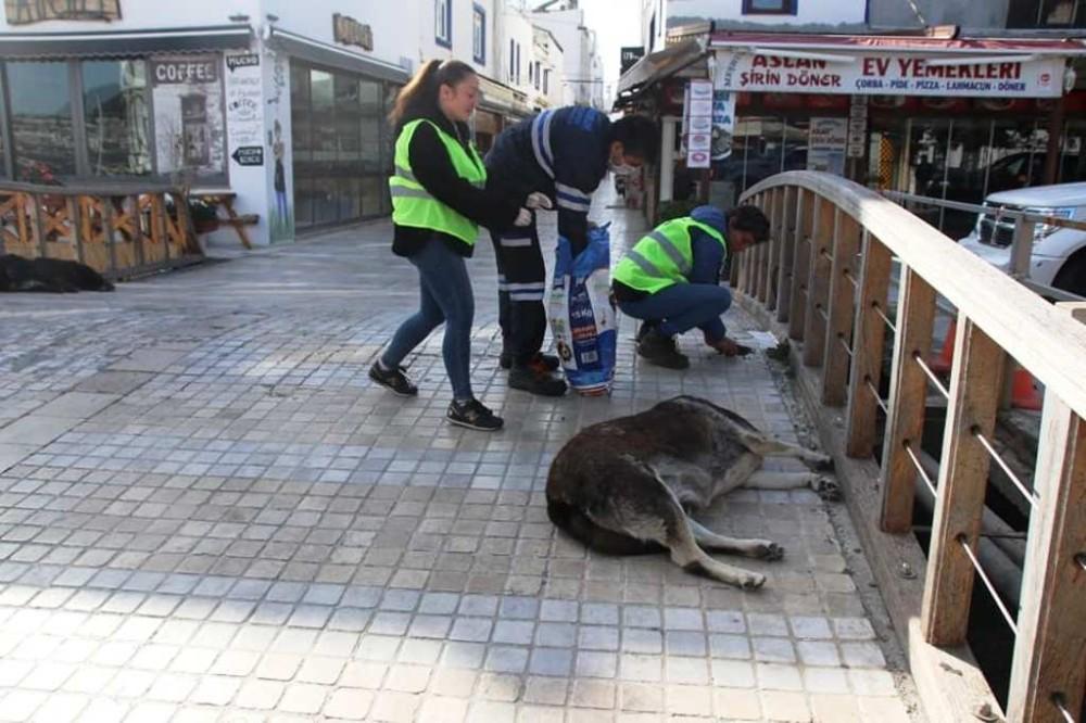 Bodrum'da sokak hayvanlarına 11 bin kilo mama dağıtıldı