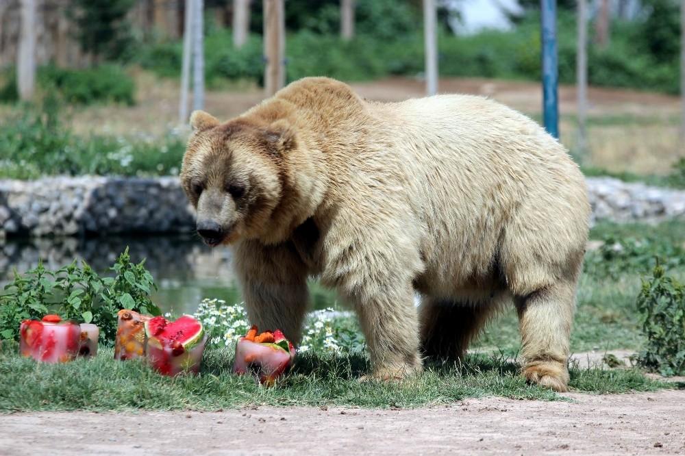 Boz ayıların buzlu meyve kokteyli keyfi