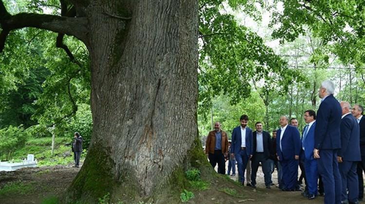 Bu ağaç 600 yaşında