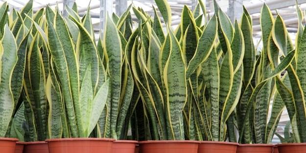 Bu bitkiler evdeki kirli havayı temizliyor
