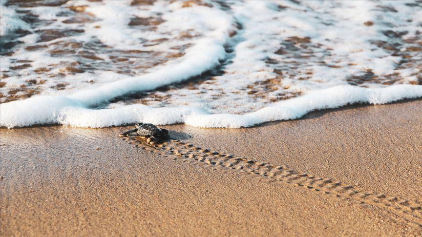 Bu yıl 537 bin 424 yavru kaplumbağa denizle buluştu