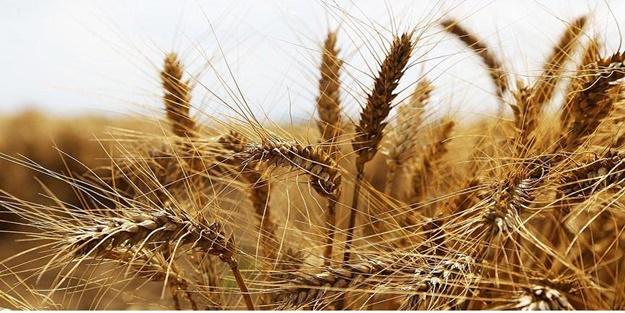 Buğday alım fiyatları 2020 | Buğday alım fiyatları ne kadar?