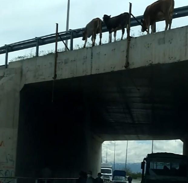 Büyükbaş hayvanların köprüden düşerek telef olduğu anlar kameraya yansıdı