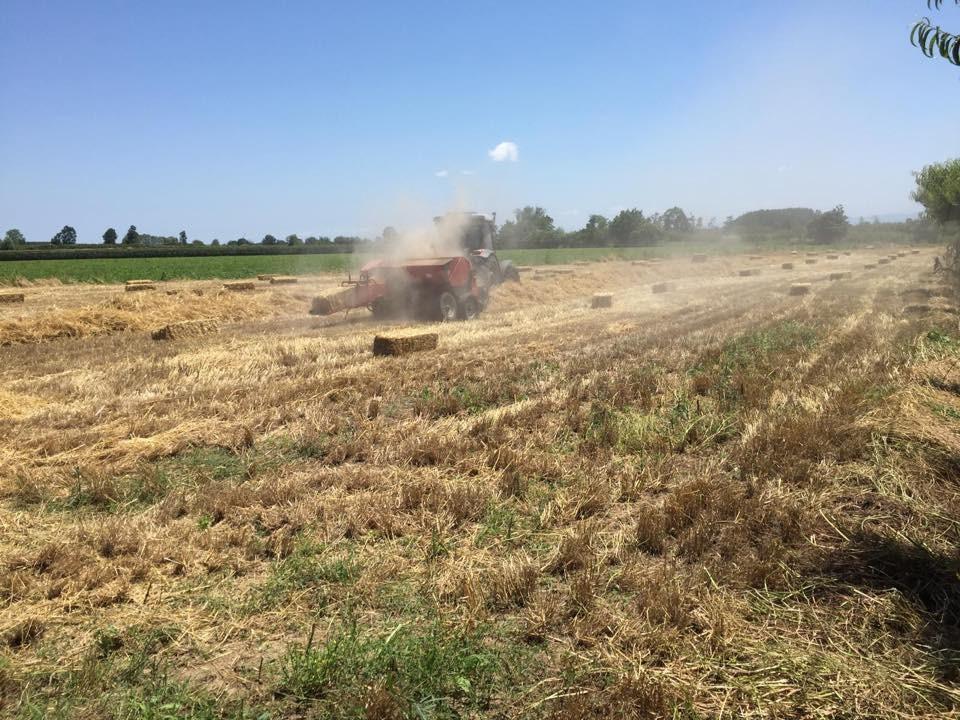 Çarşamba'da siyez buğdayı üretimi