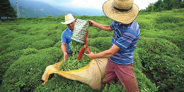 Çay toplamak için seyahat izin belgesi nasıl alınacak?   Çay hasadı için seyahat izin belgesi