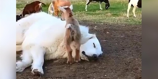Çoban köpeğinin üstünde gezinen keçi yavruları