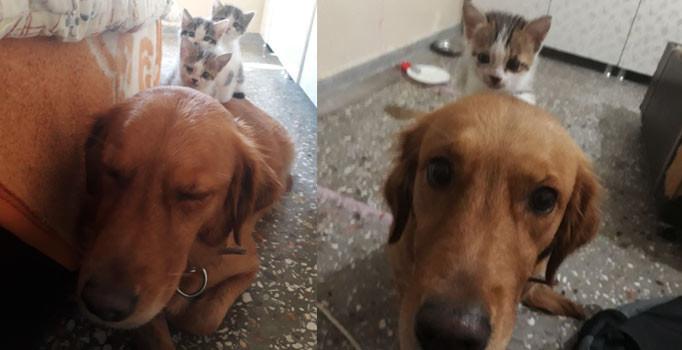 Çöpe atılan 3 kedi yavrusuna annelik yapan köpek Şila
