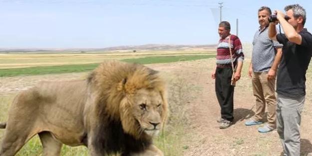 Çorum'da, köylülerin 'aslan' korkusu