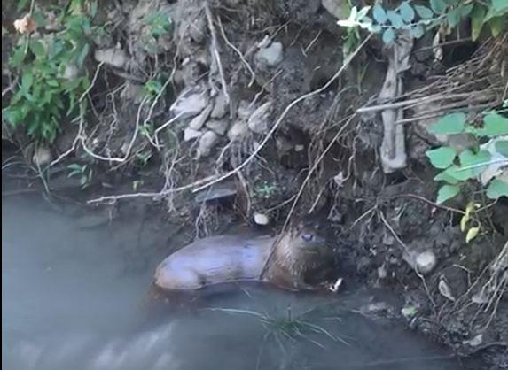 Cudi Dağı'nda su samuru görüntülendi