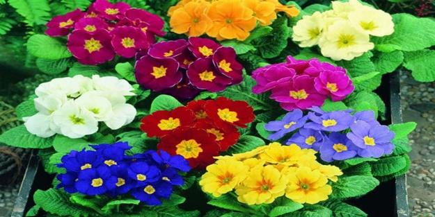 Çuha çiçeği nedir? Yararları nelerdir?