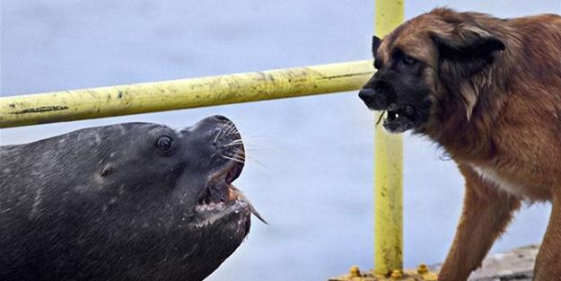 Deniz aslanı ve köpek karşı karşıya geldi!