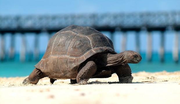 Dev kaplumbağaların yuvası eski köle adası: Changuu