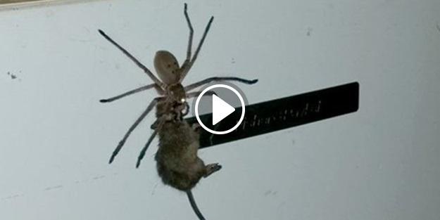 Dev örümcek yakaladığı fareyi böyle taşıdı!