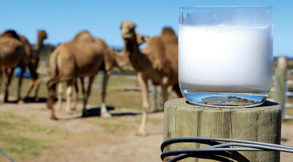 Deve sütünün faydaları nelerdir? Deve sütü nasıl bulunur?
