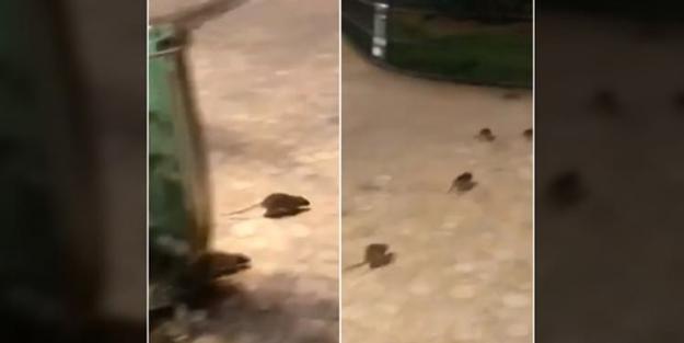 Dünyanın en ünlü şehrini fareler bastı! İnsanlar evlerine...