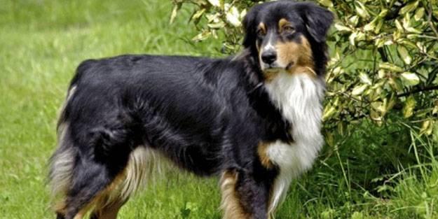 Dünyanın en zeki 10 köpek türü